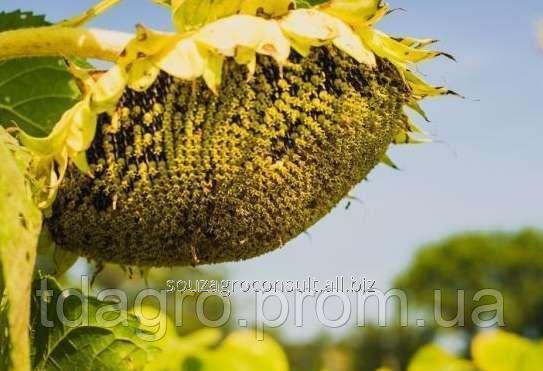 Семена подсолнечника Жалон Гранд, экстра, под гранстар (Экспресс)