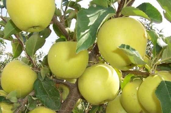 Купить Яблоко Голден 2 сорт