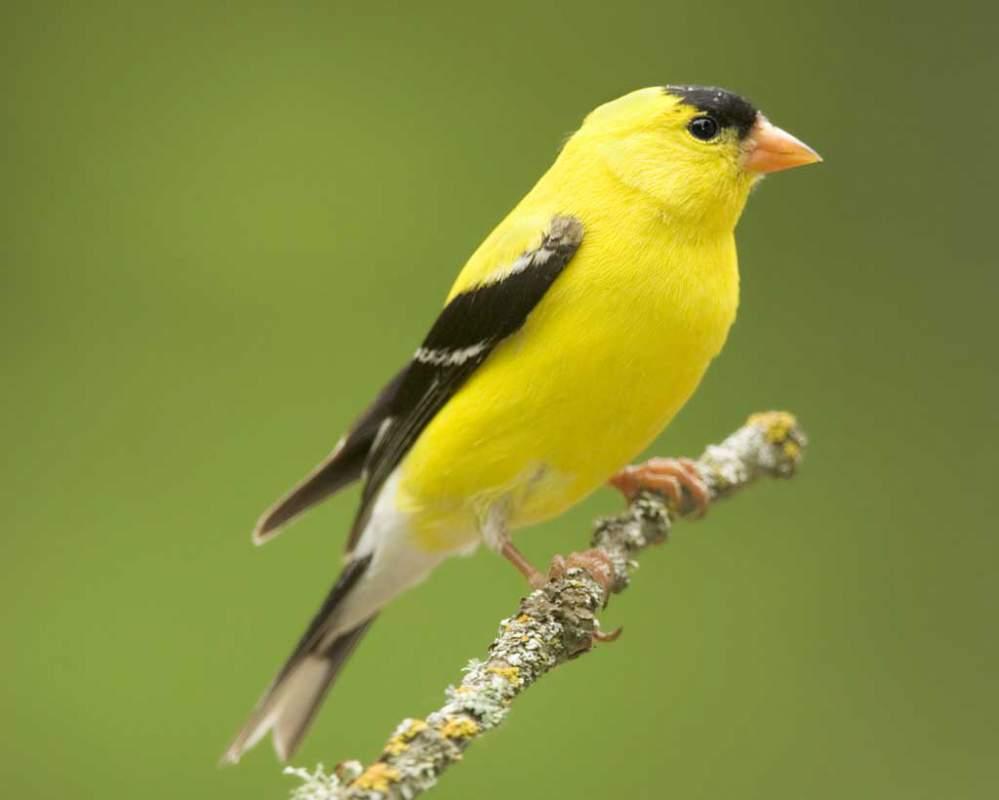 Певчие птицы в украине купить цена