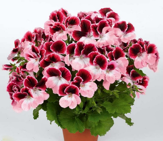 Buy The geranium is royal