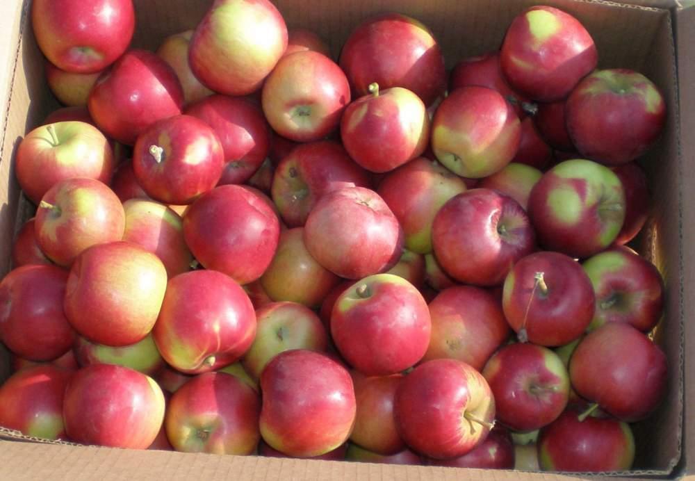 осенние сорта яблок в украине фото