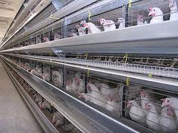 Цыплята подрощенные  породы Адлерская серебристая купить цена фотт Украина