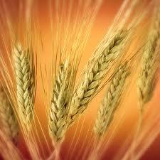 Купить Пшеница Украина