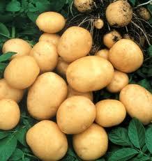 Buy Potato harvest of 2016