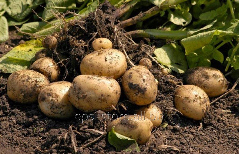 Купить Семенной картофель Воларе первой репродукции среднеспелый сорт, 5 кг