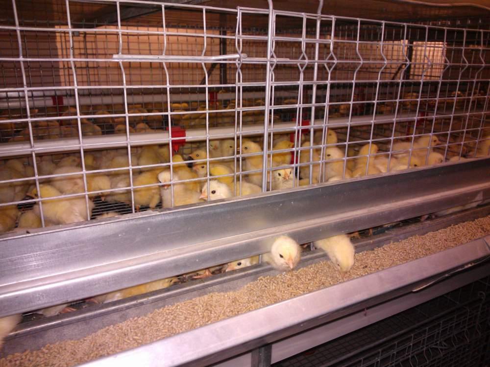 Молодняк кур, суточные цыплята, цыплята адлерская серебристая
