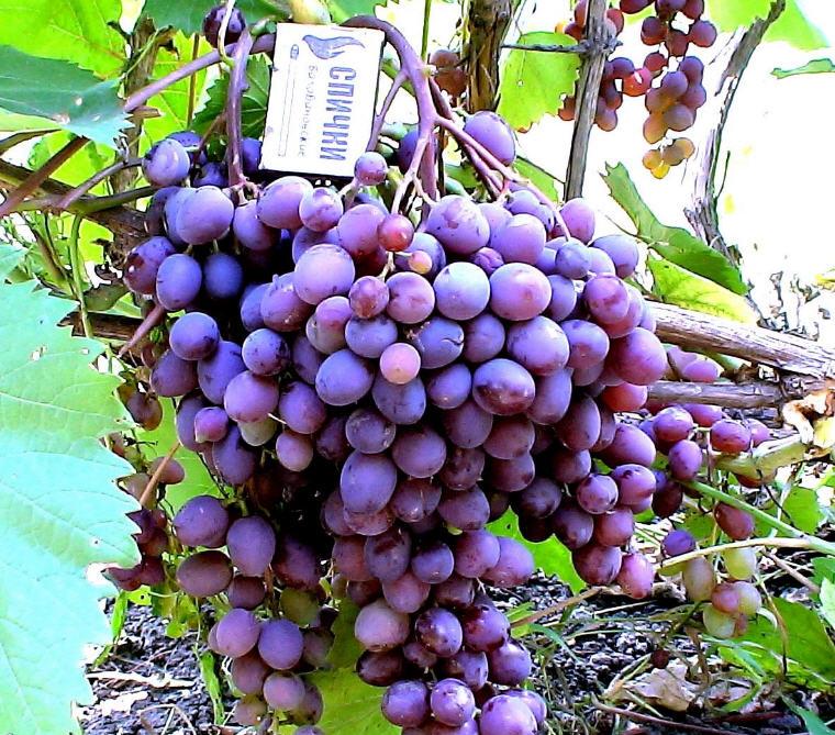 Купить Саженцы винограда Кишмиш запорожский