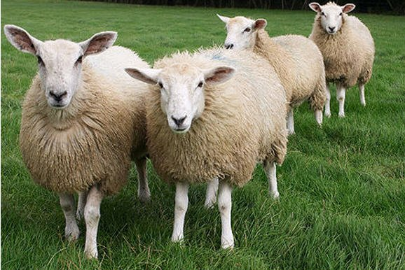 Buy I will wholesale rams, sheep
