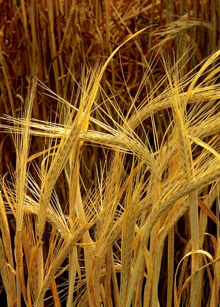 Купить Семена озимых и ярых культур