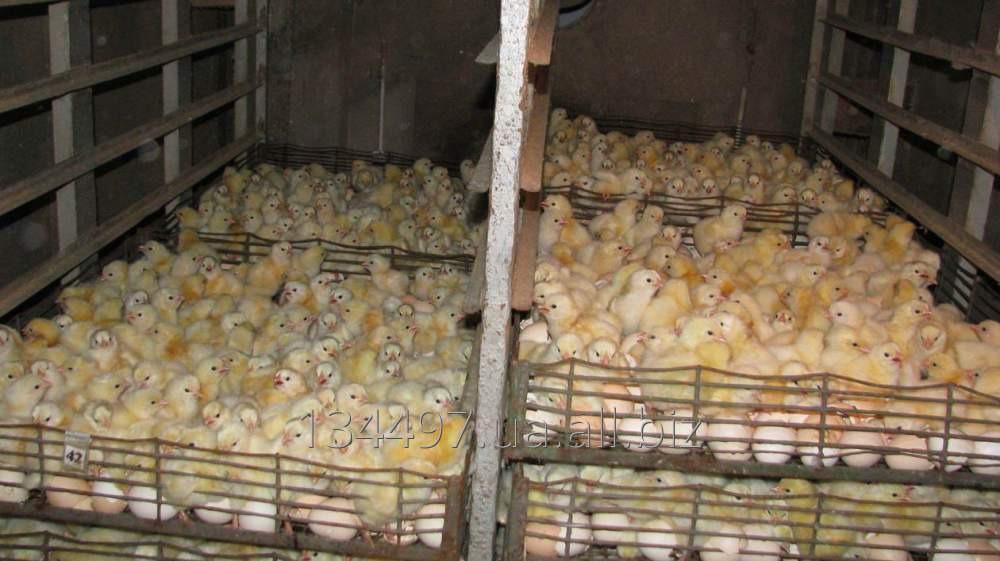 Купить Цыплята адлер серебристый