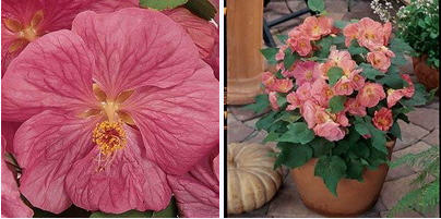 Seeds Of Houseplants An Abutilon Of Bella F1 Pink The Plant Is