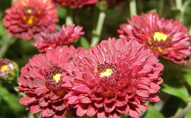 Купить саженцы цветы