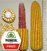 Купить Семена кукурузы Пионер П9025 / P9025 ФАО 330