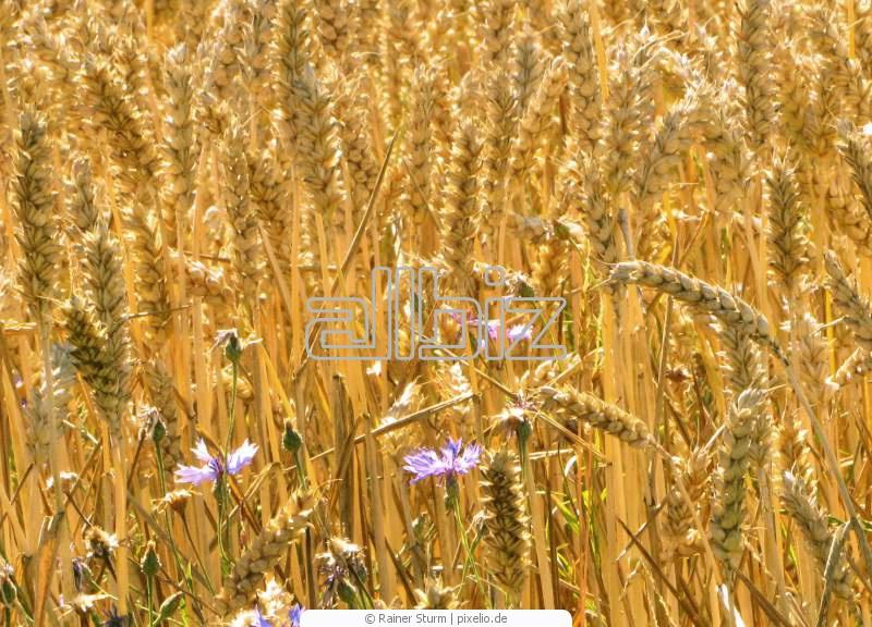 Купить Пшеница четвертого класса