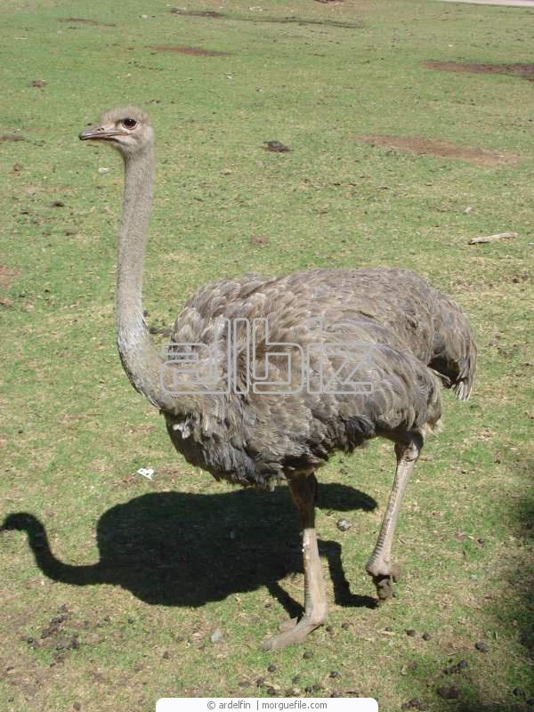 Купить Жир страусиный Украина, жир страуса купить