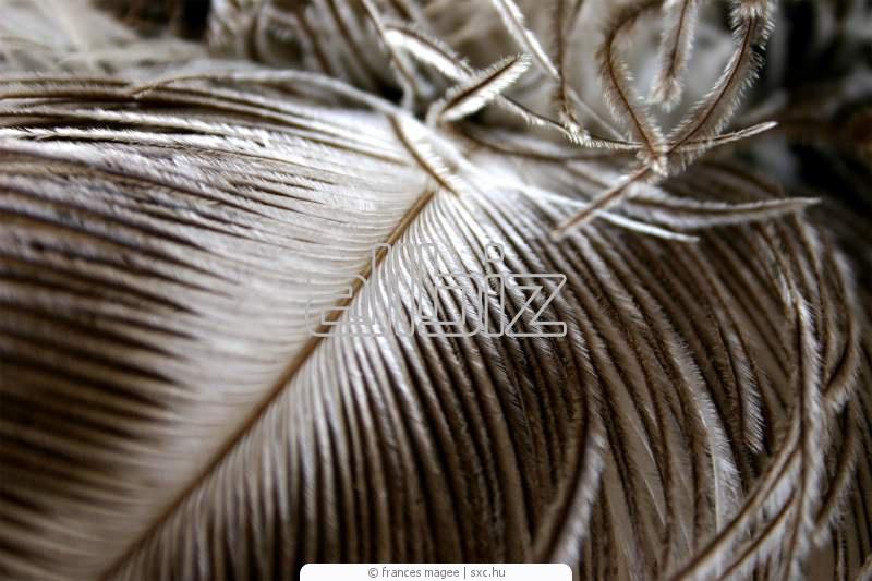 Купить Перо страуса купить цена, перо страусиное Украина