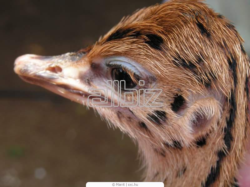Купить Страусята купить, молодняк страуса цена