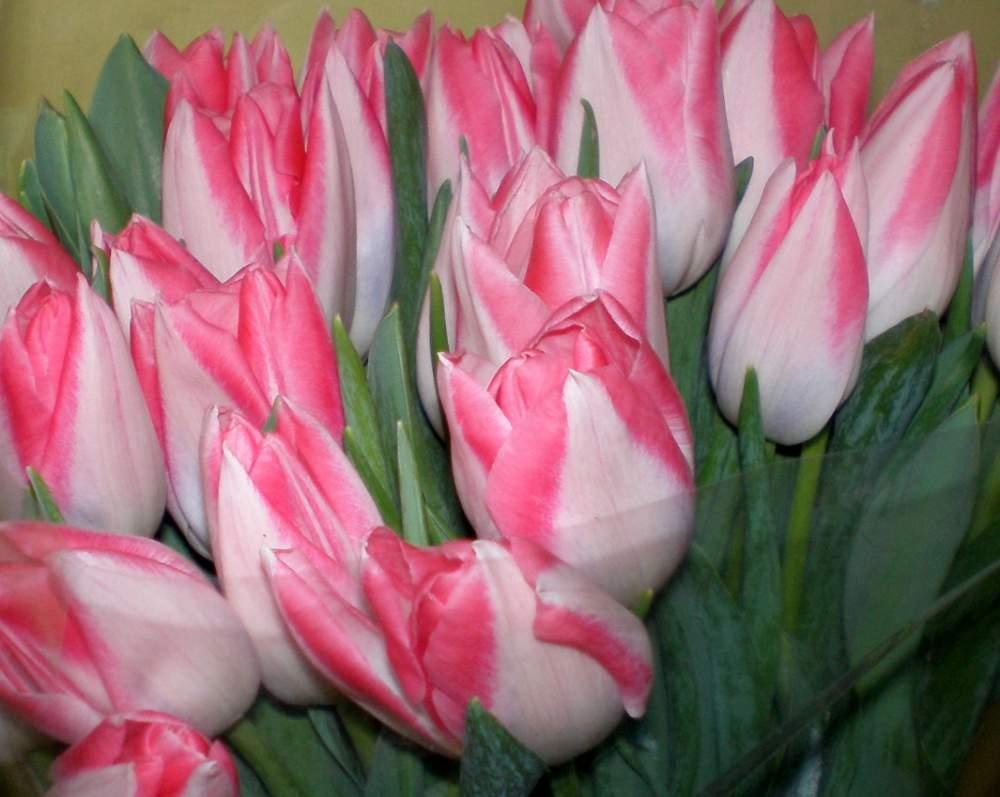сорта тюльпанов с