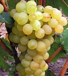 Купить Саженец винограда Лора