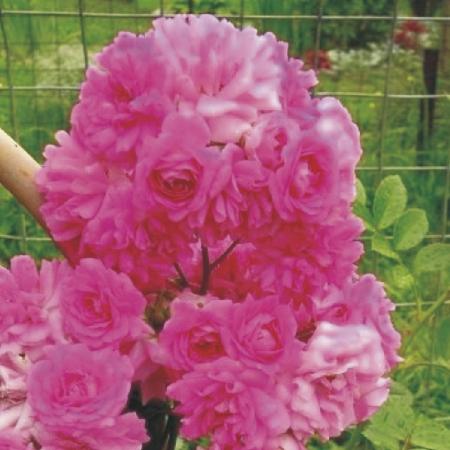 Купить Розы, плетистые розы