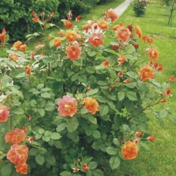 Купить Розы, парковые розы