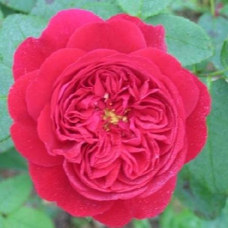 Купить Розы, английские розы