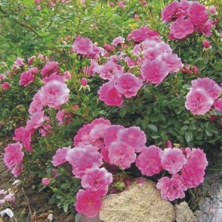 Купить Розы почкопокрывные