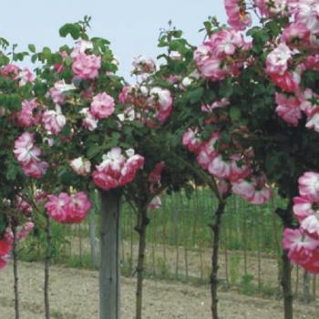 Купить Розы штамбовые
