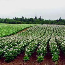 Купить Семенной картофель крупным и мелким оптом