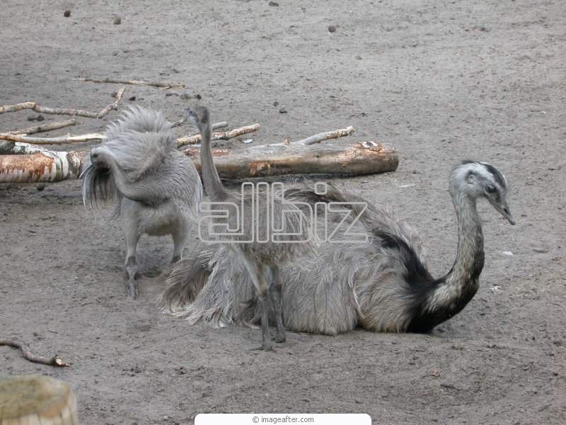 Купить Молодняк страусов купить Украина, страусята цена Черновцы