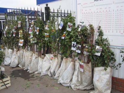 Купить Саженцы плодовых деревьев.