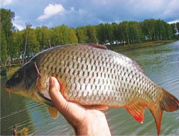 фото карася рыба