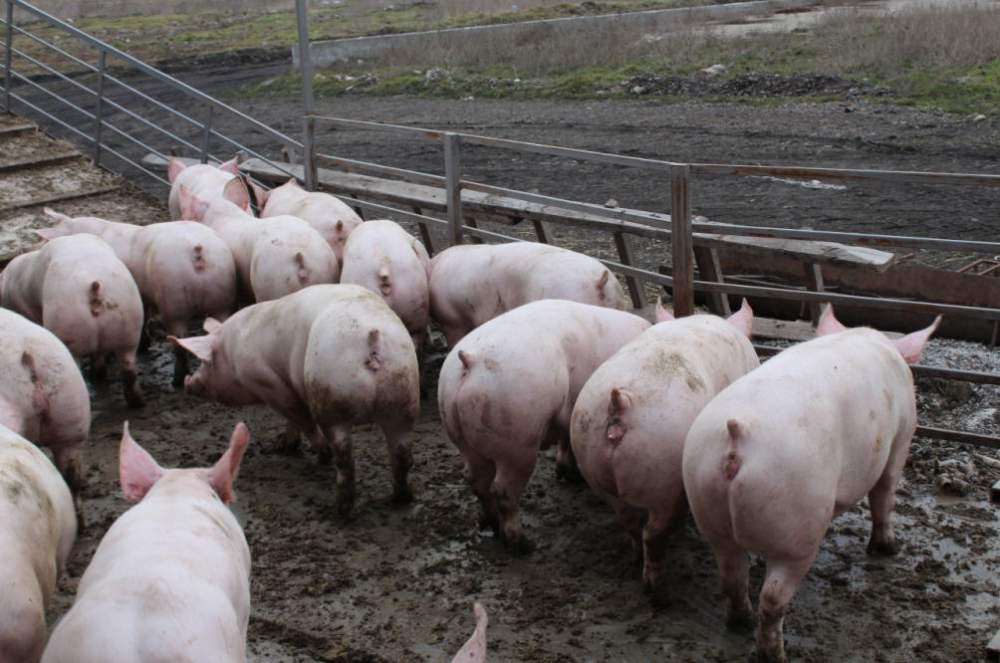 Купить Свиньи беконной породы, свиньи мясной породы