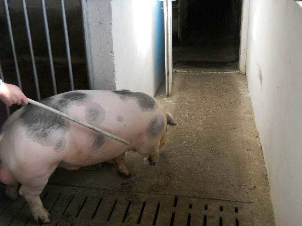 Купить Свиньи беконной породы