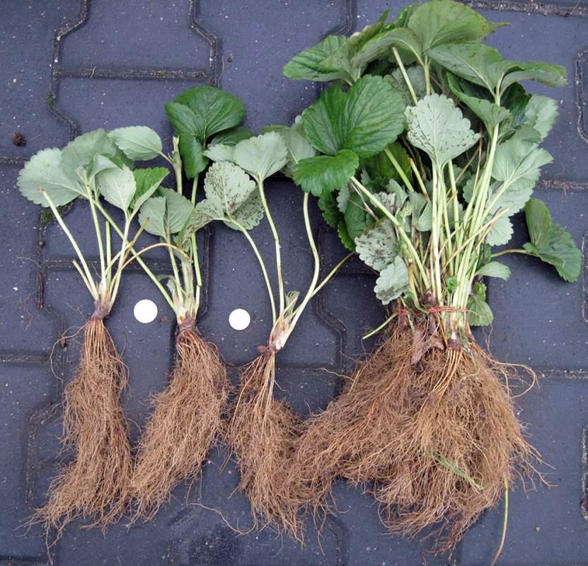Купить рассаду клубники и земляники