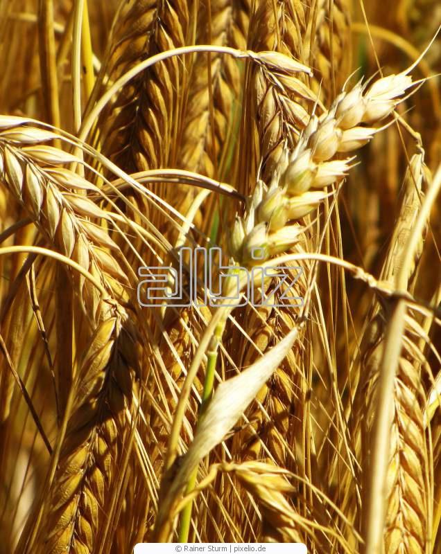 Buy Seeds of spring-sown field String Mironovskaya wholesale Ukraine