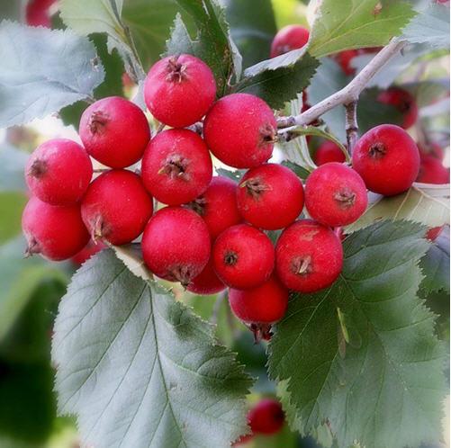 Купить Боярышник Мягкий, Мягкуватый, 4 плодовых сорта, Боярышник перистонадрезаный, Боярышник полумягкий, Боярышник поярковой, Боярышник точечный, Цветущее дерево боярышника