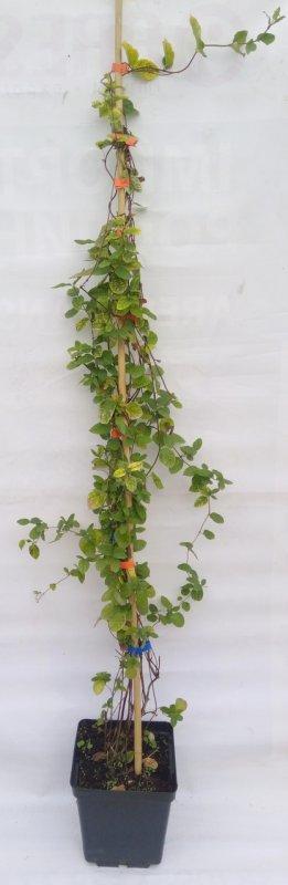 Купить Жимолость японская / Lonicera japonica Aureoreticulata С4 h120-140 см.