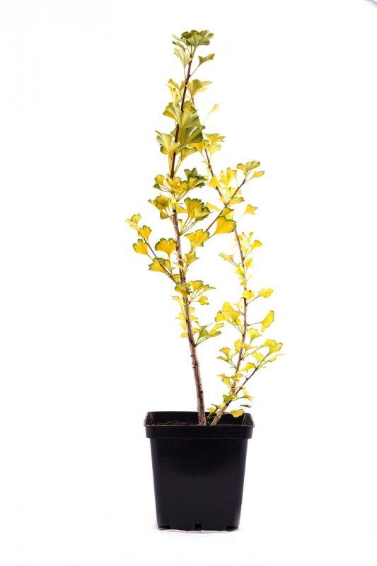 Купить Гинкго билоба (Ginkgo biloba) 'Menhir' C3 h50-60 см.
