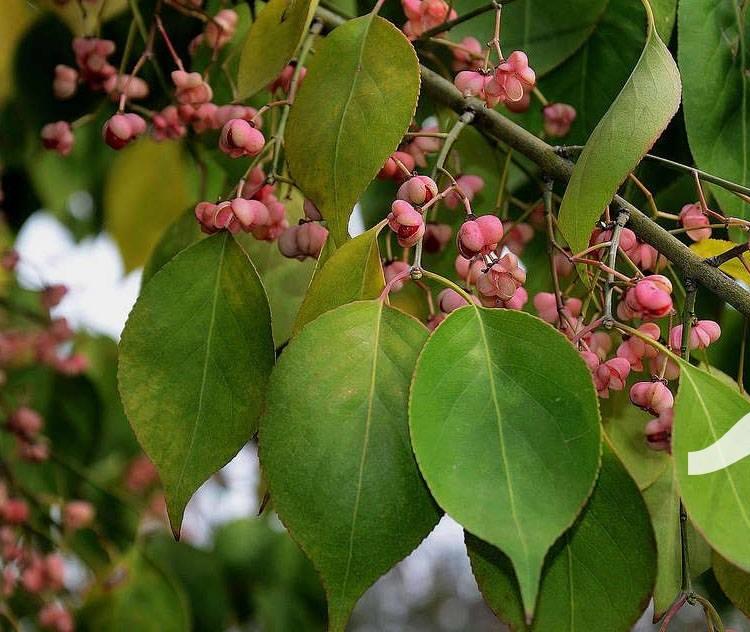 Купить Бруслина Гамільтона Маака / Бересклет Гамильтона / Euonymus hamiltonianus subsp. maackii C5 Pa 100-120