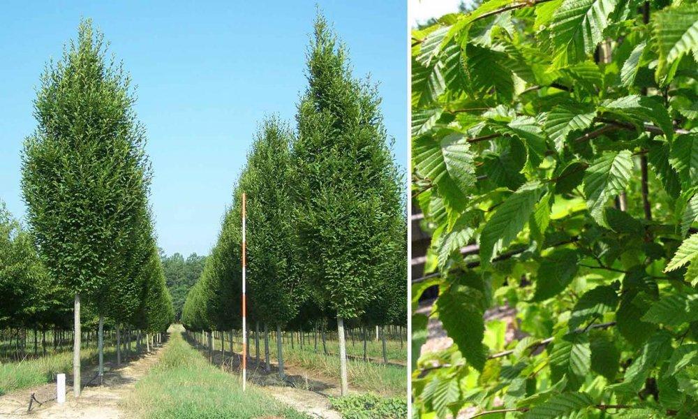 Купить Граб звичайний / Carpinus betulus C7.5 60-80
