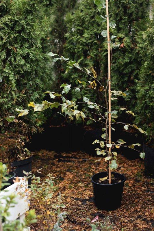 Купить Граб обыкновенный / Граб звичайний / Carpinus betulus ROCKHAMPTON RED (LochglowPBR) C9 100 - 120