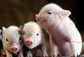 Купить Комбикорм для свиней