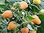 Купить Саженцы малины Ярославна
