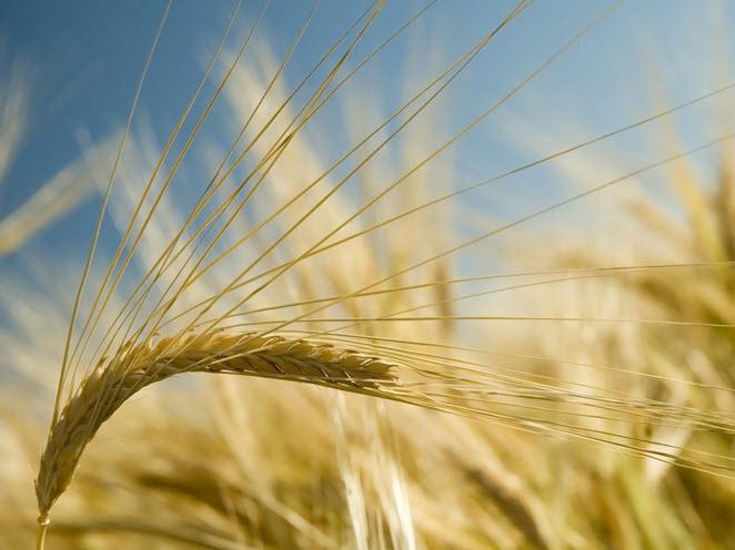Купить Семена ярового ячменя суперєлиты Адапт