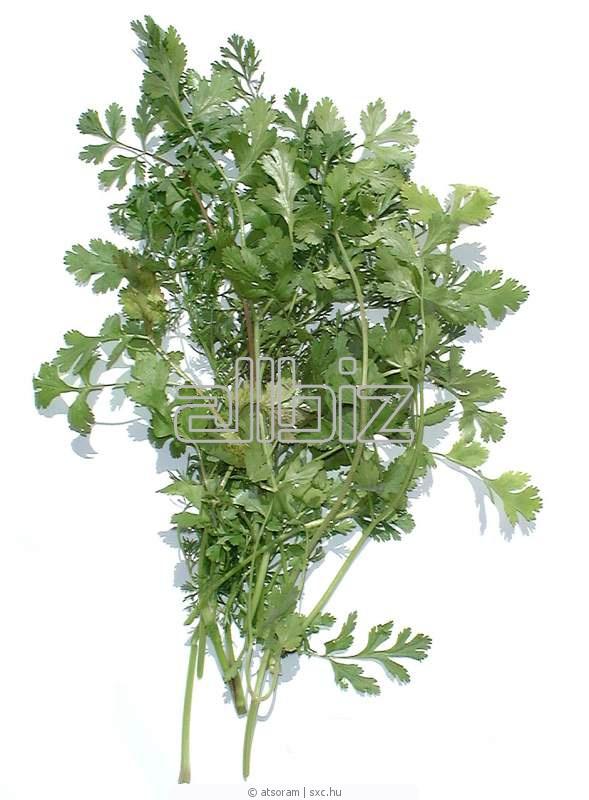 Buy Cilantro fresh