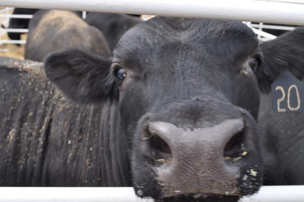 Купить Продажа семя племенных быков