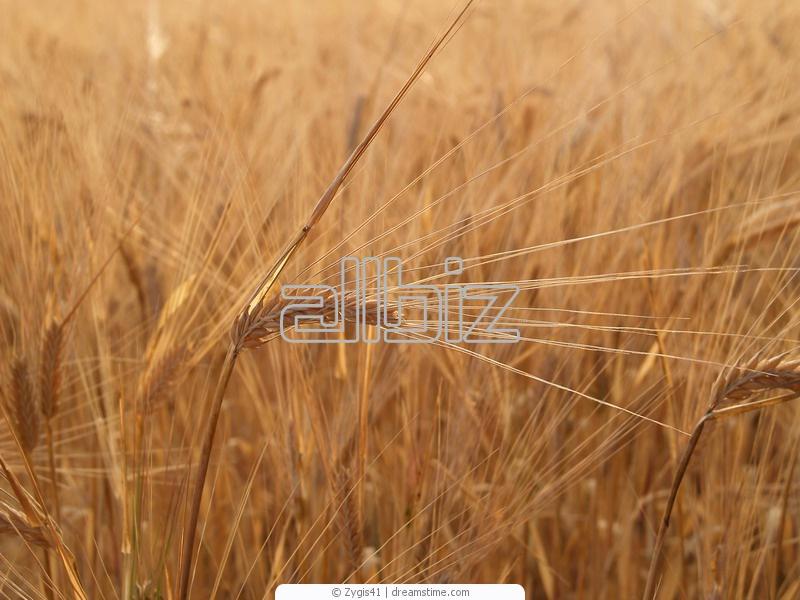 Купить Культуры зерновые