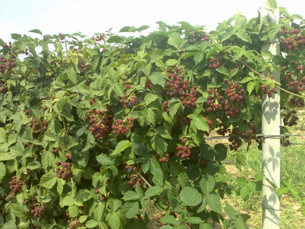 Выращивание ежевики на украине 9