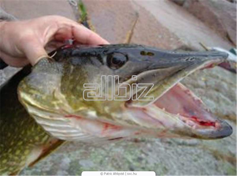 Купить Рыба речная,Щуки